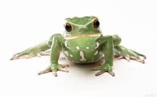 Imagenes De Ranas Blancas | rana verde con manchas blancas