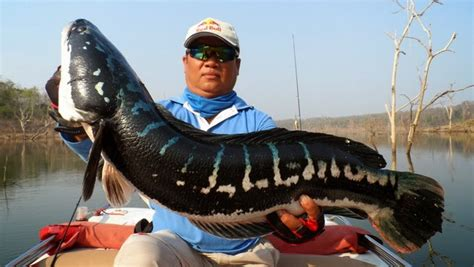 budidaya manfaat  mancing ikan gabus terbesar