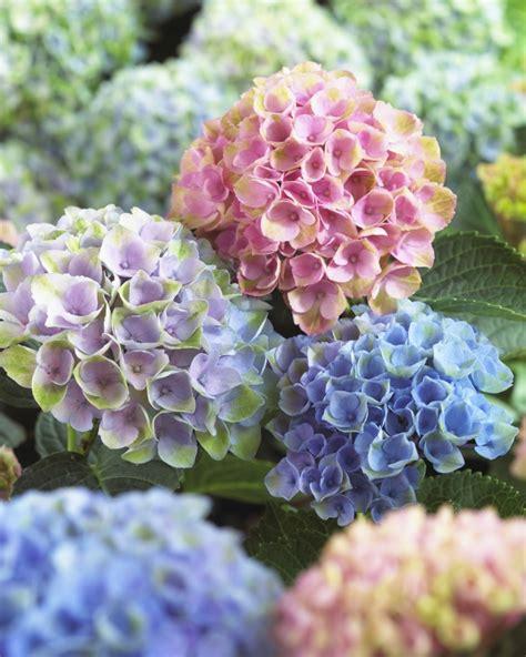 Garten Pflanzen Setzen by Mit Hortensien Akzente Im Garten Setzen