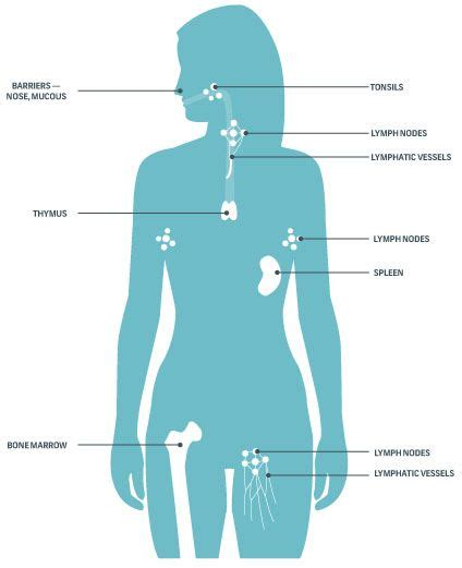 diagram of the immune system 17 best images about for care of the on