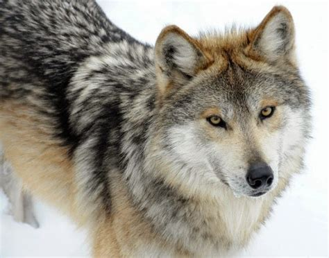 breed closest to wolf is being owned by a husky are huskies part of the wolf family
