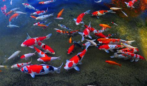membuat filter air kolam ikan cara membuat filter kolam ikan koi yang baik dan benar