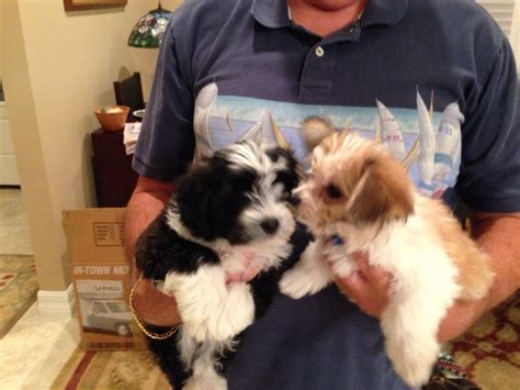 havanese or maltese looking for a havanese or maltese puppy hotels homes sarasota bradenton
