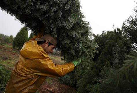 christmas tree farms with real estate in monroe or carbon county pa tree prices rise amid post recession scarcity minnesota radio news