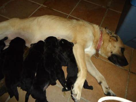 golden retriever negro se regalan cachorros de golden retriever adopciones perros