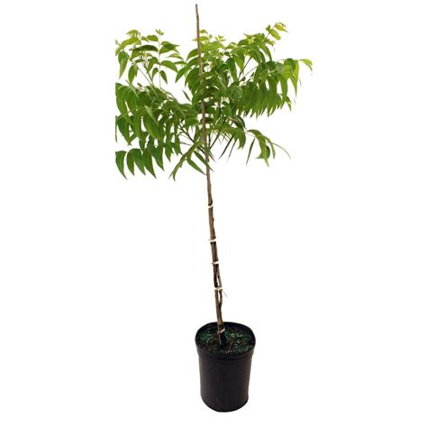 oconee pecan tree pecoco05g the home depot