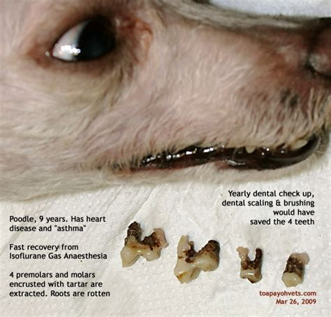 shih tzu breathing attack 031208asingapore toa payoh veterinary vets cat rabbits hamster veterinarian