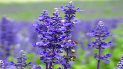 Lavender Flowers beautiful lavender flowers photo 34658217 fanpop
