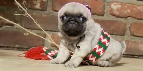 pug home alone home alone reenacted by a pug is the best two minutes you will spend this season