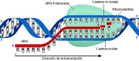 cadena molde de adn transcripcion arn el proceso de transcripcion