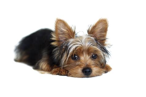 how to clip a yorkie yorkie hair pictures hairstyle gallery