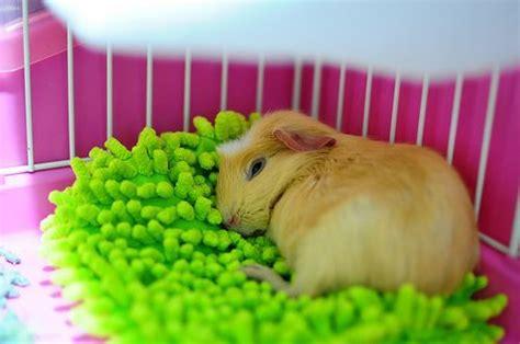 guinea pig bedding ideas guinea pig bed guinea piggies cute guinea pigs guniea