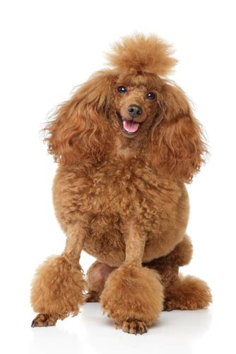 miniature poodle lifespan 15 breeds that a lifespan and live a