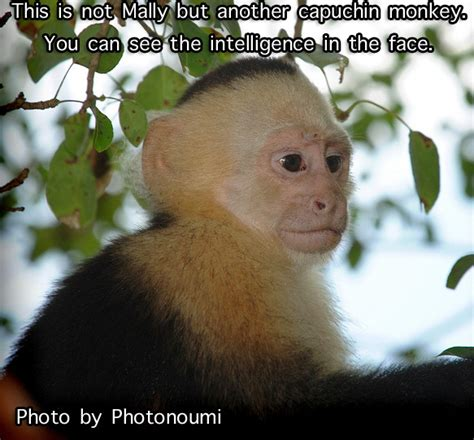 Baby Monkey Meme - capuchin monkey for kids memes