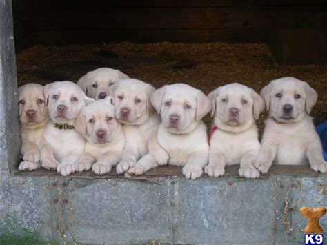 yellow lab puppies for sale in nc labrador retriever puppy for sale akc chion lineage block heads yellow fa