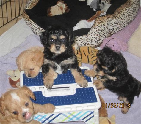 cavapoo puppies tennessee best 25 cavapoo breeders ideas on cutest puppy teddy puppies and