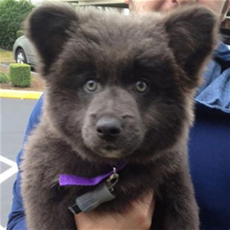 puppies that look like bears 17 puppies that look like teddy bears bored panda