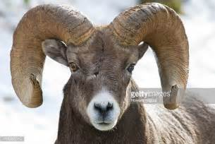 ram animal pictures ram animal stock photos and pictures getty images