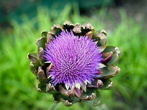 fiore carciofo coltivare carciofi ortaggi consigli per coltivare i