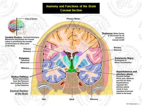 define section anatomy medical art anatomy and functions of the brain
