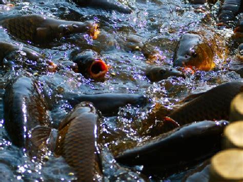 Panen Ikan 25 Bulan cara panen dan penanganan pascapanen ikan bibitikan net