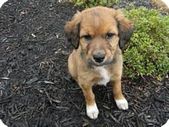 nashville golden retriever rescue adopted puppy nashville tn australian shepherd golden retriever mix