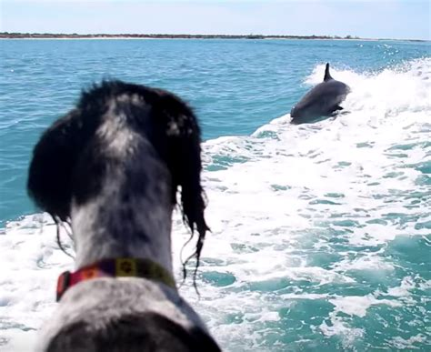 dog boat dolphin wild dolphins swim and surf with tourist turks caicos