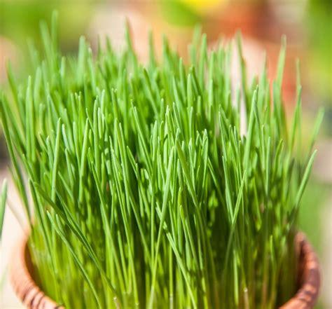 erba cipollina in vaso erba cipollina per cucina prezzo e vendita
