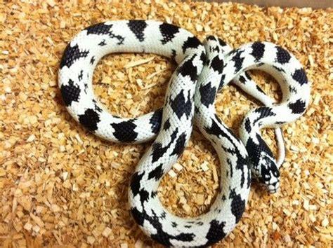 king snake colors black white aberrant california kingsnake interesting