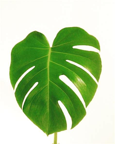 printable tropical leaves monstera leaf art print lovely art pinterest leaf