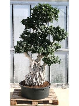 bonsai da interno elenco piante tropicali da interno ed esterno paganopiante