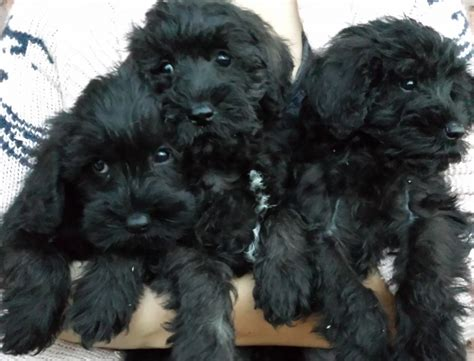 miniature schnoodle puppies schnoodle puppies for sale only 2 remaining malpas cheshire pets4homes