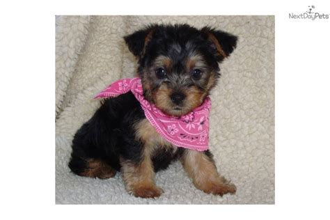 silky terrier puppies silky terriers for sale silky terrier puppy for sale near kansas city missouri