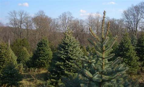 cut your own christmas tree on the north fork nextstop