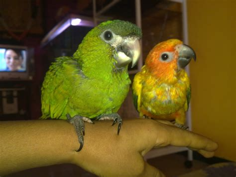 preethi farms exotic birds breeders hand tamed birds
