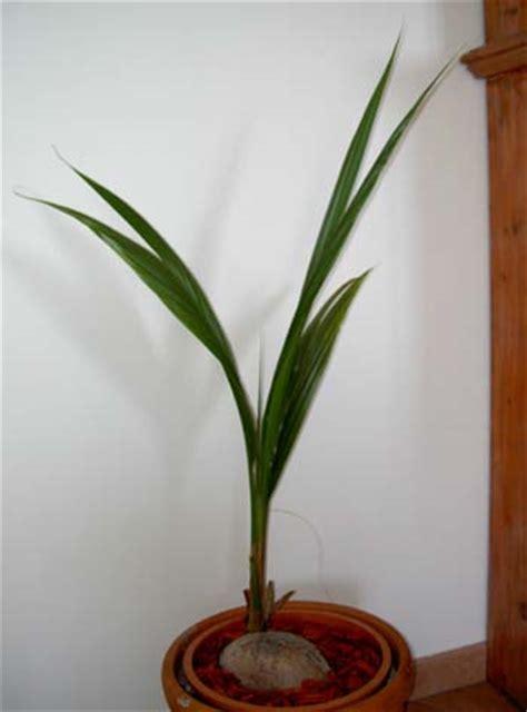 pianta di cocco da appartamento palme di cocco forum di giardinaggio it