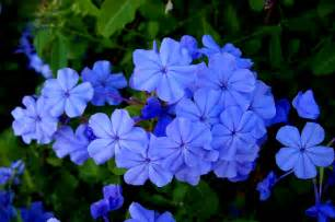 pretty blue flower names www imgkid com the image kid