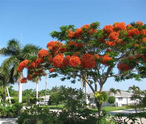 Garden Poinciana by Photo Of The Entire Plant Of Royal Poinciana Delonix