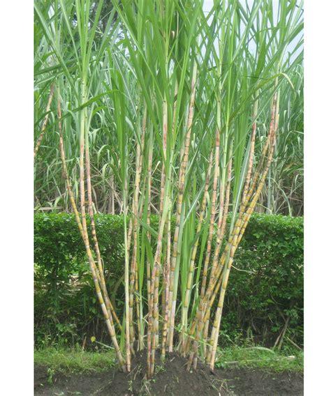 bioteknologi pertanian daning eka septyarini