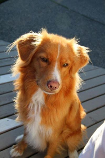 duck toller puppy 25 best ideas about toller on scotia duck tolling duck