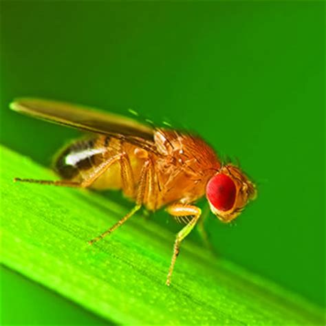 fruit fly catseye pest control