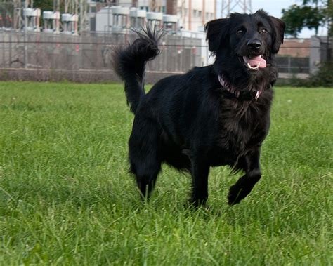 golden retriever mixed with black lab black lab golden retriever mix on the hunt