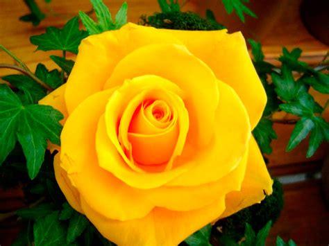 imagenes de rosas grandes te amo con locura related keywords te amo con locura