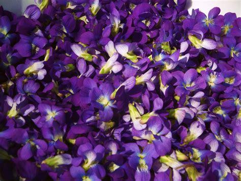 violet s the life of a novice medicinal wild violets