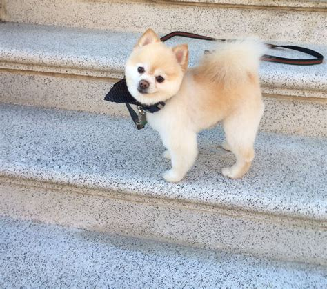 pomeranian haircuts 22 best pomeranian haircut images on pinterest