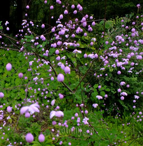thalictrum rochebrunianum botanically inclined seed