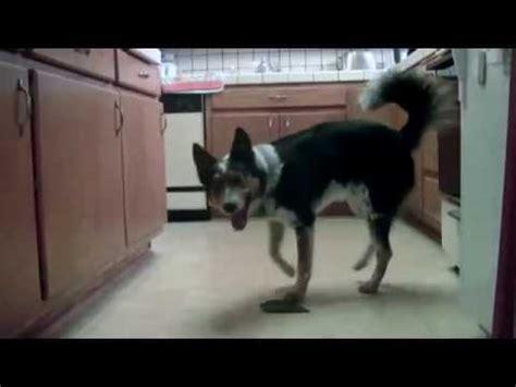 skidboot trailer home family extreme dog tricks with omar von muller