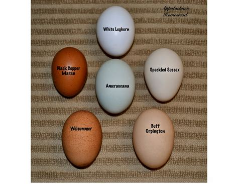 egg colors speckled sussex egg color search chickens