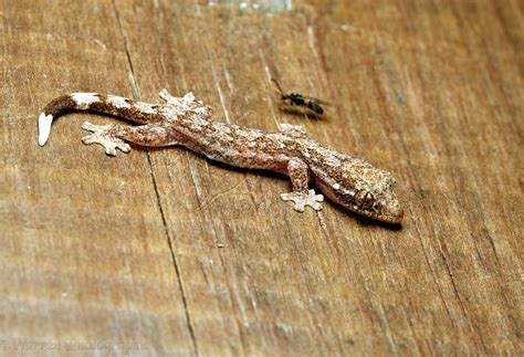 Trinidad house gecko, immature photo WP12868