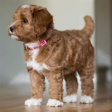 pretty puppies adorable labradoodle puppy from creek labradoodles pretty puppies